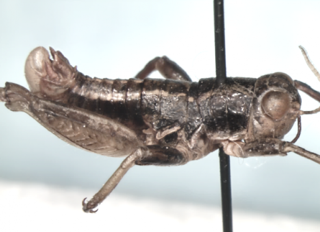 Conophymanazarovi sp. n.