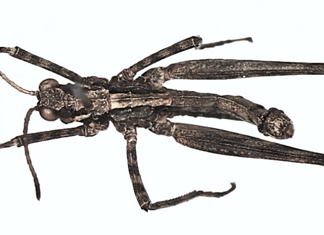 Phytomastaxsergeevi sp. n.